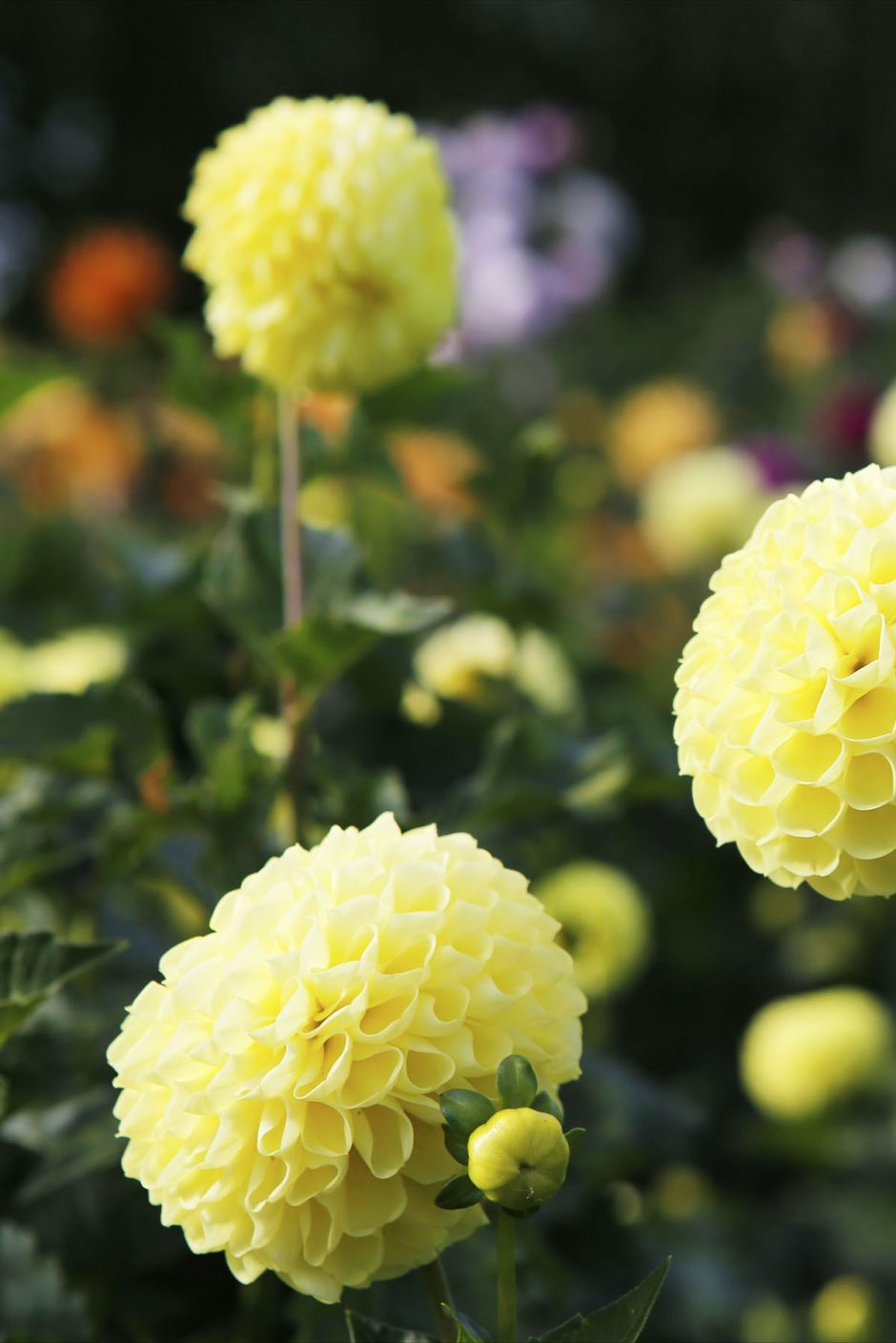 gula-blommor